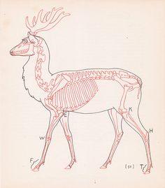 Vintage Deer Anatomy Print Skeleton Illustration Book Plate Color Animal
