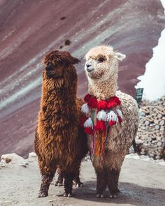 Cute Baby Animals, Farm Animals, Animals And Pets, Funny Animals, Alpacas, Cute Animal Photos, Animal Pictures, Cute Creatures, Beautiful Creatures