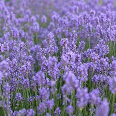 Prachtige Lavendel in een landelijke tuin. Aangelegd door Hoveniersbedrijf Piet Wisse uit Aagtekerke, Zeeland.