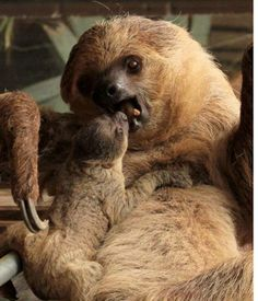 'Sneaky' sloths' new arrival is an unexpected surprise for London Zoo - Home News - UK - The Independent