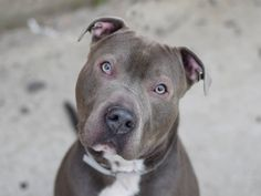☆ GONE BUT NEVER FORGOTTEN ☆ TO BE DESTROYED - 03/23/15 Brooklyn Center -P My name is JUNIOR. My Animal ID # is A1029995. I am a male gray and white staffordshire mix. The shelter thinks I am about 3 YEARS old. For more information on adopting from the NYC AC&C, or to find a rescue to assist, please read the following: http://urgentpetsondeathrow.org/must-read/