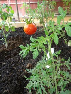 The Kitchen Garden- Harvest Time is Near