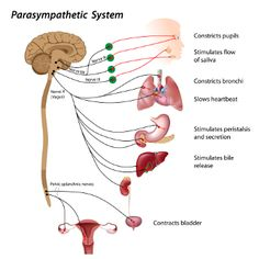 The parasympathetic nervous system is part of the autonomic system and is vital for bodily function, rest and stress-relief