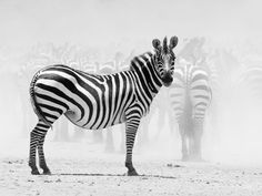 """Zebra, Tanzania    """"We were taking shots in the southwest of Serengeti, Tanzania. This location is known as Hidden Valley and was full of animals from the great migration.    This pregnant zebra came out of the dust for a second to take a look at me. She was the perfect poser! Head straight, ears up, legs in line, tail accentuating her curving body while the herd in the background created the perfect stage of dust!""""  - Caption by Giedo van der Zwan"""
