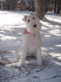 Snow dog(Mickee my Wire Fox Terrier)