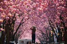 De beste stedene å se kirsebærtre blomstre – VG Lonely Planet, Washington Dc, Trips, Travel, Voyage, Nature, Viajes, Traveling, Destinations