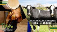 Como identificar y Tratar enfermedades Podales en Bovinos - TvAgro por J...