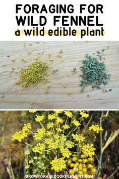 Wild fennel is a common edible and medicinal plant on west coast roadsides. Foraging for wild fennel is easy with its licorice like scent. Organic Herbs, Organic Gardening, Gardening Tips, Flower Gardening, Diy Herb Garden, Backyard Vegetable Gardens, Edible Wild Plants, Wild Edibles, Grow Your Own Food