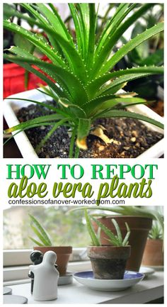 Container Gardening Ideas Repotting Our Aloe Plant and Starting New Aloe Vera Plants - I wanted to share how we are repotting our aloe plant. I'm far from an expert when it comes to houseplants but I enjoy having plants inside Cacti And Succulents, Planting Succulents, Garden Plants, Indoor Plants, Planting Flowers, Aloe Vera Plant Indoor, Air Plants, Aloe Plant Care, Indoor Herbs