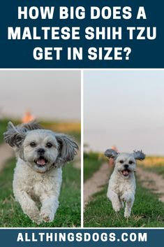 The Maltese Shih Tzu size can be classified as a toy or small breed, weighing no more than 7 pounds, but they have been known to grow up to 12 pounds. You can expect them to stand about 6-10 inches off of the ground. Read our breed guide to learn more.  #malteseshihtzusize #malteseshihtzu #malshisize Maltese Shih Tzu, Shih Tzu Mix, Miniature Dog Breeds, Designer Dogs Breeds, Cute Dogs Breeds, Small Breed, Mixed Breed, Dog Design, Toy