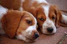 Welsh Springer Spaniel puppies...not as cute as my pebbly though!