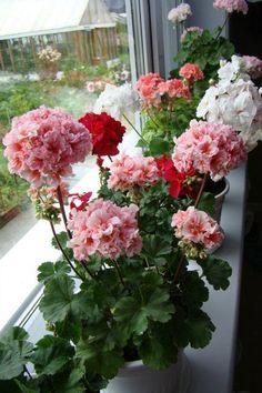 A geranium window sill, multi colors. Sun Perennials, Container Gardening, Balcony Garden, Garden Plants, Pink Geranium, Trailing Flowers, Grave Flowers, House Plants Decor, Blooming Flowers