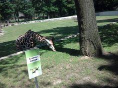 Giraffe in Zoo - Kraków
