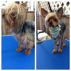 Emo yorkie, per request. Groomed by my friend Rachel :)