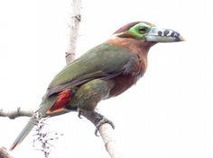 Aves Brasileiras  * Aracari poca *