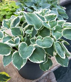 Hosta Barbara Ann ❤️ House Plants For Sale, Plants For Sale Online, House Plant Delivery, Hosta Varieties, Barbara Ann, Garden Privacy, Fruit Seeds, Shade Perennials, Planting Bulbs
