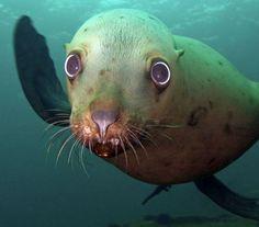 Steller Sea Lion - Endangered Animal - Near Threatened