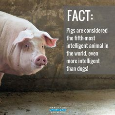 pigs are more intelligent than dogs yet they are so cruelly treated #vegan
