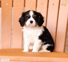 Cavalier King Charles Spaniel Puppy for Sale in Pennsylvania
