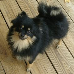 Khloe a female, Black & Tan Pomeranian.