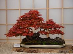 Japanese Maple Bonsai Tree | Japanese Maple ( Acer palmatum )