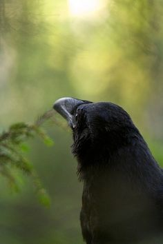 Crows and Ravens on Pinterest | Crows, Ravens and The Raven