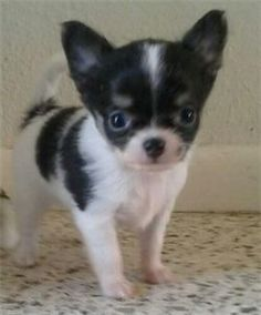 MoonLit Chihuahuas - Puppies Available