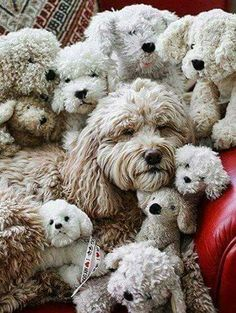 Whoodle puppy | Poodle mix puppies, Fluffy animals ...
