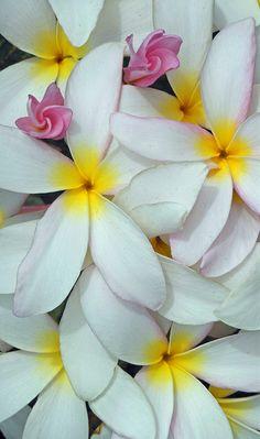 ~~Hawaiian Plumeria   Frangipani by Hawai'i Naturalist~~