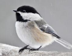 Mésange à tête noire,Black-capped Chickadee, petit oiseau, à têtre blanche et noire. Il est le premier à venir aux mangeoires et à y demeurer fidèle. en anglais, il chante son nom. Il demeure avec nous toute l'année et vient facilement manger dans notre main si nous avons un peu de patience.