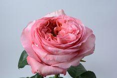 """Pink Juliette"" a David Austin garden rose  Seasonal Flowers, All Flowers, David Austin, Floral Design, Fragrance, Roses, Colorful, Create, Garden"