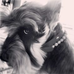 Love the look!!! #Schnauzer I recognise this, crafty Schnauzer....:)
