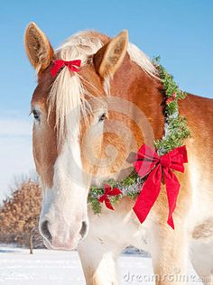 colorful pictures of draught horses | Closeup of a Belgian draft horse with a Christmas wreath and a bow in ...