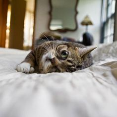 lil bub le chat le plus mignon du monde 18   Lil Bub le chat le plus mignon du net   star record du monde photo mignon Lil Bub image handica...