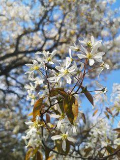 May 15, 2019. Serviceberry Fruit, Plants, Planters, Plant, Planting