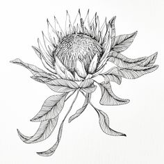 Protea Art, Protea Flower, Red Ink Tattoos, Sleeve Tattoos, Floral Drawing, Floral Watercolor, Botanical Drawings, Botanical Illustration, Skin Deep Tattoo
