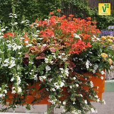 Hol' Dir die Natur in die Stadt! >>Scaevola 'Surdiva White', Sutera 'Baristo Midi White', Elfensporn 'Divara Orange', Geranie 'Pelgardini Vancouver', Wandelröschen 'Esperanta Orange'.