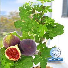 "Frucht-Feige ""Rouge de Bordeaux"" klein,1 Pfl. Ficus carica Feigenbaum"