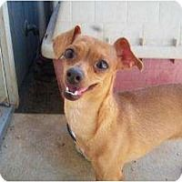 **SOFIA**ChihuahuA/Dachshund Mix for adoption in Templeton, CA who needs a loving home.