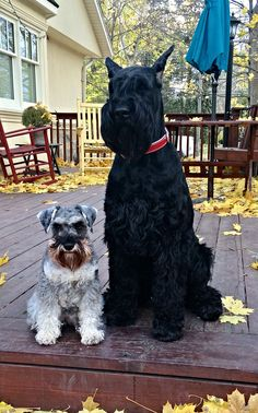 "Excellent ""schnauzer puppies"" detail is offered on our site. Schnauzer Grooming, Standard Schnauzer, Miniature Schnauzer Puppies, Giant Schnauzer, Schnauzer Puppy, Beagle Dog, Cute Puppies, Cute Dogs, Dogs And Puppies"