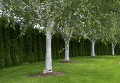 4 Trees to Plant for a Beautiful Landscape All Year . 4 Trees to Plant Backyard Trees, Landscaping Trees, Front Yard Landscaping, Modern Landscaping, Acreage Landscaping, Inexpensive Landscaping, Landscaping Contractors, Book Commercial, Trees With White Bark