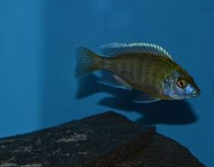 African Cichlids | UPDATE | Nimbochromis Venustus | Species Only Group