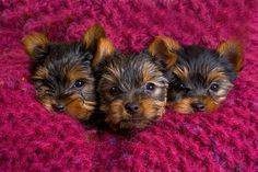 Things I adore about the Brave Yorkie Dogs – Fournitures pour animaux Yorkies, Yorkie Puppy, Teacup Yorkie, Yorkshire Terriers, Cute Puppies, Cute Dogs, Top Dog Breeds, Pet Breeds, Rottweiler Puppies