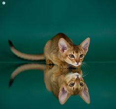 Focus Cat Abbysinian