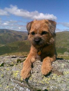 Border Terrier | Dog Breed Health