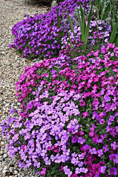 Aubretia 'Purple Cascade' in various shades of purple - hardy, low spreading, blooms April to June, full sun, semi-evergreen, prune to keep from getting leggy