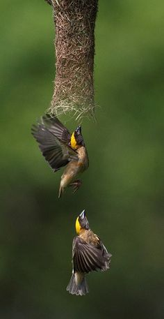 Weaver birds in action.