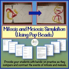 Mitosis and Meiosis Simulation Lab Using Pop Beads (Cell Division Lab Simulation.) #Mitosis #Meiosis #CellDivision