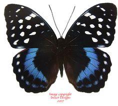 007 Papilio hermeli F, Very Rare! Winged wonders Pinterest