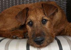 8 Images That Perfectly Capture The Fiery Irish Terrier – American Kennel Club Fox Terriers, Terrier Breeds, Wire Fox Terrier, Terrier Dogs, Dog Breeds, Scottish Deerhound, Irish Terrier, Irish Wolfhound, Irish Setter